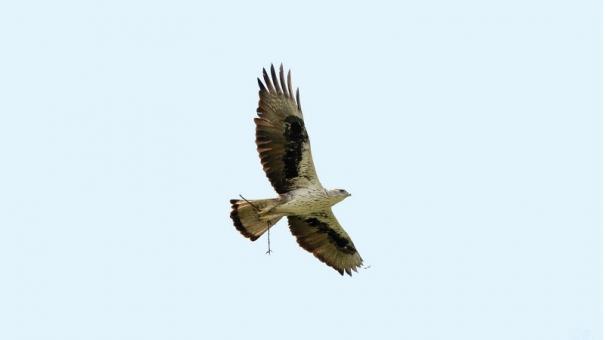 rock-eagle