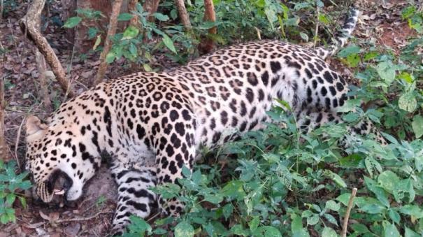 leopard-killed-in-vehicle-collision-near-paralikadu
