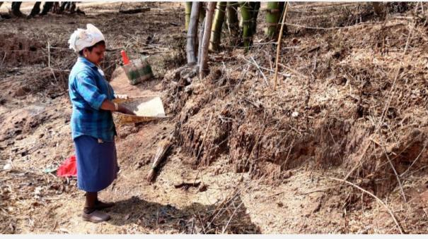 bamboo-rice-blooming-in-mudumalai-indigenous-people-collecting-rice-with-medicinal-benefits