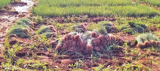 cultivation-of-small-onions