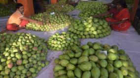 mango-yield-in-vellore