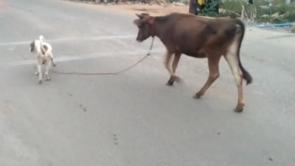 usilampatti-dog-takes-cow-to-the-grazeland