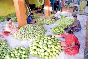 mango-yield