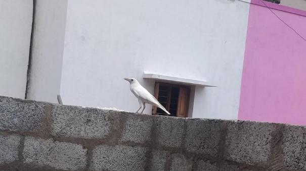 attention-grabbing-white-crow-miracle-near-ambur