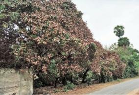 cashew-trees