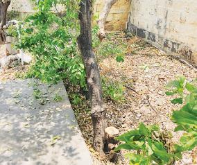 sandalwood-twig