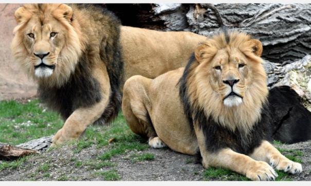 lions-in-hyderabad-zoo-test-covid-19-positive-samples-examined-by-ccmb
