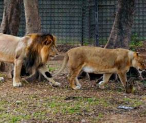 asiatic-lions