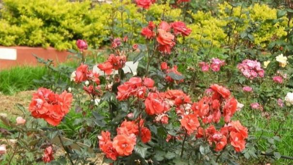 kodaikanal-rose-garden-looks-beautiful