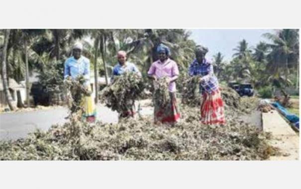 lentils-harvest