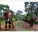 elephants-golden-year