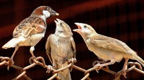 sparrows-are-not-extinct