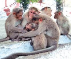 monkeys-starving