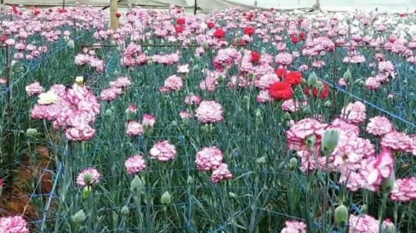 ornamental-flower-cultivators-in-kodikanal-are-worsely-affected