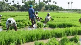 paddy-cultivation-and-cauvery-water