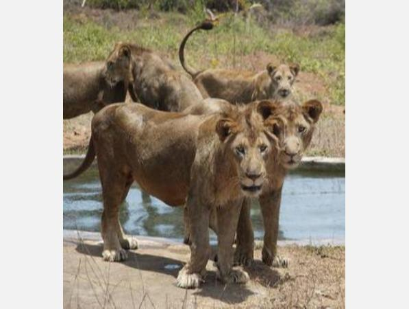 measures-to-protect-lions-chief-forest-officer-inspects-zoos-in-person