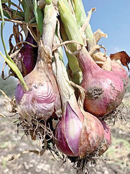 fake-onion-seeds