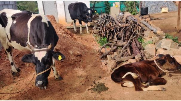 cows-dying-of-syphilis-in-the-nilgiris-farmers-are-worried-that-they-have-not-been-vaccinated-for-a-year