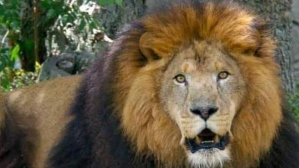 lion-died-of-covid-19