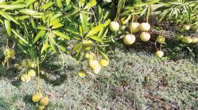 unsold-mangoes