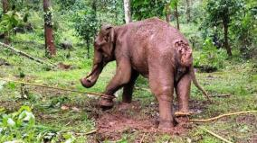 elephant-caught-wandering-around-with-injury-in-cuddalore-forest-department-treatment