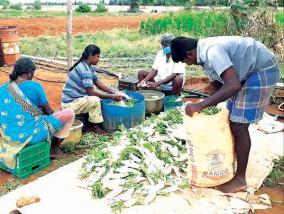a-kilo-of-radish-costs-one-rupee