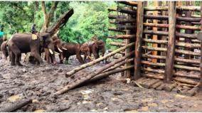 first-time-a-wild-elephant-caught-with-a-wound-in-cuddalore-is-trapped-in-a-tree-cage