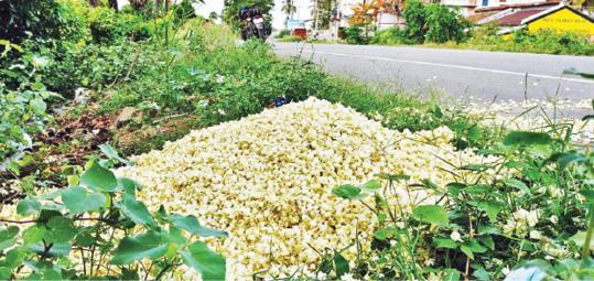 jasmine-flowers-loss