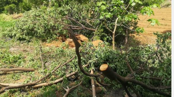 cutting-down-of-sandalwood-trees-near-salem-people-complain