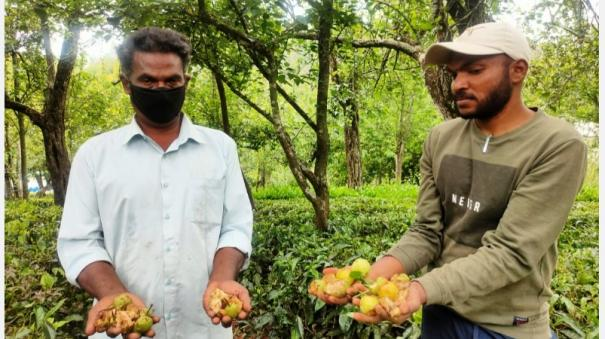 pear-farmers-affected-in-nilgiris