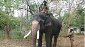 radio-collar-for-bhagupali-elephant-kumki-elephants-brought-to-mettupalayam