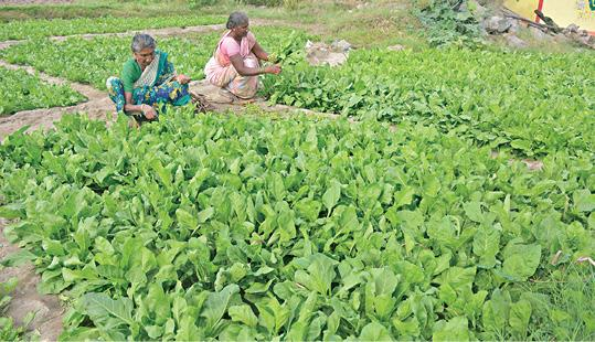 cultivation-of-lettuce