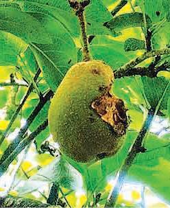 pear-yield
