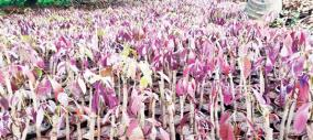 ma-seedlings