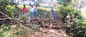 farmers-cut-off-mango-trees