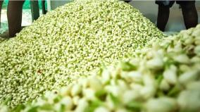 jasmine-flowers-piled-up-in-nilakkottai-market-sending-to-perfume-factory-due-to-lack-of-external-sales