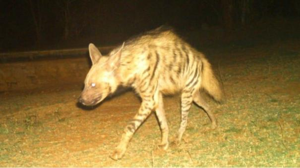 tiger-and-hyena-recorded-on-forest-camera-in-coimbatore