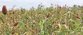 food-corn-ready-for-harvest