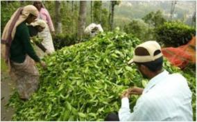 tea-purchasing-companies