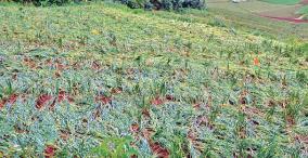 garlic-crop-damage