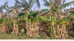 endangered-banana-farming-at-a-turning-point-farmers-going-to-work-to-pay-off-debt
