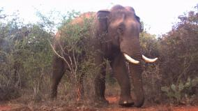 fact-about-male-elephant