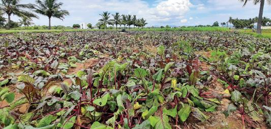 beetroot-cultivation