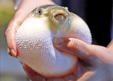sea-chicken
