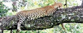 leopards-population