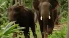 wild-elephants-barge-into-village