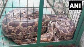 a-11ft-long-python-swallows-monkey-near-vadodara-in-gujarat