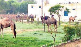 rajasthan-camels