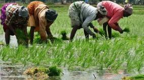 no-insurance-for-paddy-crops