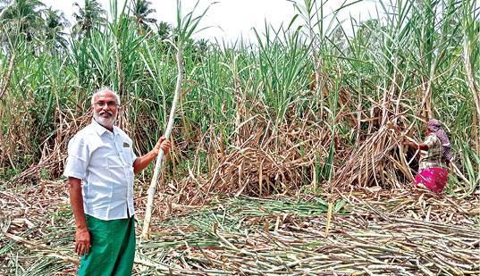 sugarcane-cultivation-using-organic-urea